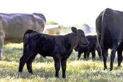 Svart Angus korsad kalv i flock royaltyfria bilder