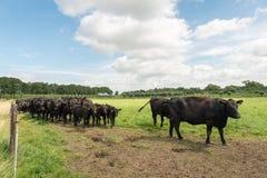 Svart Angus nötkreatur i en holländsk äng royaltyfri fotografi