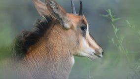 Svart antilop behandla som ett barn arkivfilmer