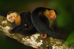 Svart apasammanträde på trädfilialen i denhövdade capuchinen för mörk vändkretsskogapa, Cebus capucinus Apa i naen arkivfoto