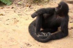 svart apaspindel Royaltyfri Bild