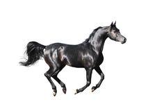 Svart arabisk häst som isoleras på vit Arkivbild