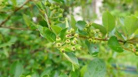 Svart ashberry omoget Royaltyfri Fotografi