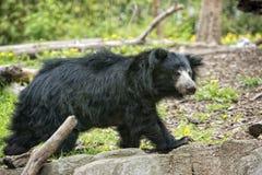 Svart asiatisk björn för sengångare royaltyfri foto