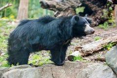Svart asiatisk björn för sengångare fotografering för bildbyråer