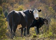 Svart baldy ko och kalv arkivbild
