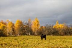 svart beta för kofält Arkivfoto