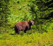 Svart björn Fotografering för Bildbyråer