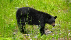 Svart björn lager videofilmer