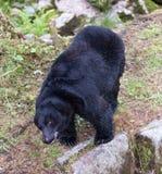 Svart björn Arkivfoton