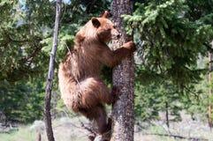 Svart björn royaltyfri bild