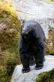 Svart björn Royaltyfri Fotografi