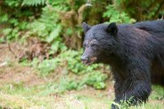 Svart björn Arkivbilder