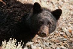 Svart björn royaltyfria bilder