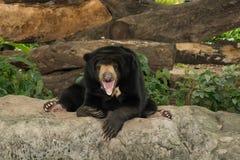 Svart björn för leende i zoo Royaltyfri Foto
