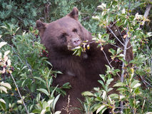 Svart björn för mamma efter bär Royaltyfria Bilder