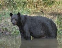 Svart björn för vuxen man Royaltyfria Bilder