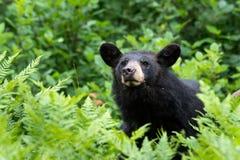 Svart björn i den americanus naturursusen arkivbild