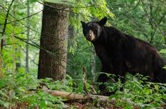 Svart björn i den Cades lilla viken GSMNP Arkivbilder