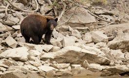 Svart björn i den lösa brittiska columbiaen Fotografering för Bildbyråer