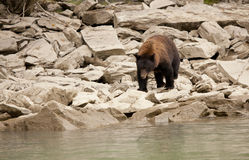 Svart björn i den lösa brittiska columbiaen Arkivfoton