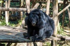 Svart björn i djurt beskydd, Tat Kuang Si vattenfall, Luang Prabang, Laos royaltyfri foto