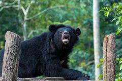 Svart björn i djurt beskydd, Tat Kuang Si vattenfall, Luang Prabang, Laos arkivfoton