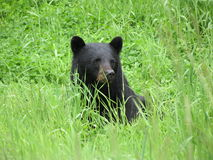 Svart björn i gräs Royaltyfri Fotografi