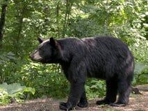 Svart björn i livsmiljö arkivfoton