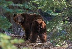 Svart björn i sequoianationalpark Arkivbilder