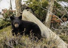 Svart björn i skogen Royaltyfri Bild