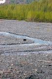 Svart björn i utgångsglaciär royaltyfri bild