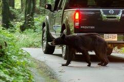 Svart björn med bilen i den Cades lilla viken GSMNP royaltyfri fotografi
