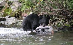 Svart björn med Slamon Royaltyfria Foton