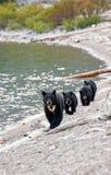 Svart björn med trillingar Fotografering för Bildbyråer