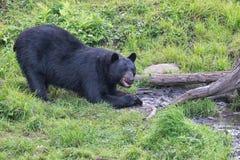 Svart björn, medan äta royaltyfri bild