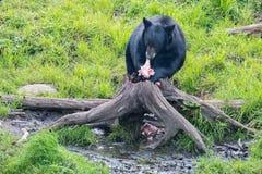Svart björn, medan äta i ett träd royaltyfria bilder