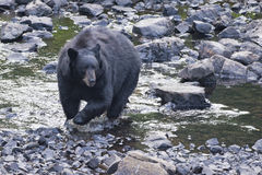 Svart björn, medan korsa floden royaltyfri fotografi