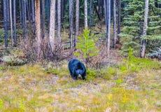 Svart björn på kringstrykandet för mat royaltyfri fotografi
