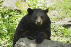 Svart björn på våren Royaltyfria Bilder