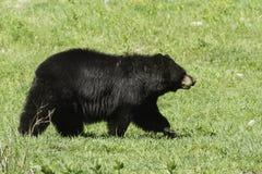 Svart björn på våren Royaltyfria Foton