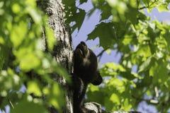 Svart björn på våren Arkivfoto