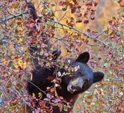 Svart björn som äter björnbär i storslagna Tetons, WY Royaltyfria Bilder