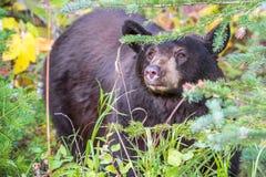 Svart björn som döljer i skogen Royaltyfri Bild