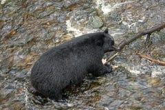 Svart björn som fiskar för lax arkivfoton
