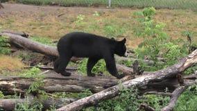 Svart björn som går på en journal stock video