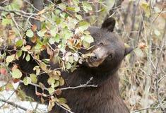 Svart björn som klättrar hagtorn i nedgången som söker för bär a arkivbilder