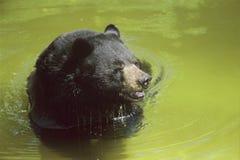 Svart björn som kopplar av i ett damm Royaltyfri Foto