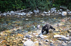 Svart björn som korsar en flod royaltyfria bilder