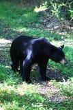 Svart björn som ner tar en landsbana för promenad Arkivfoto